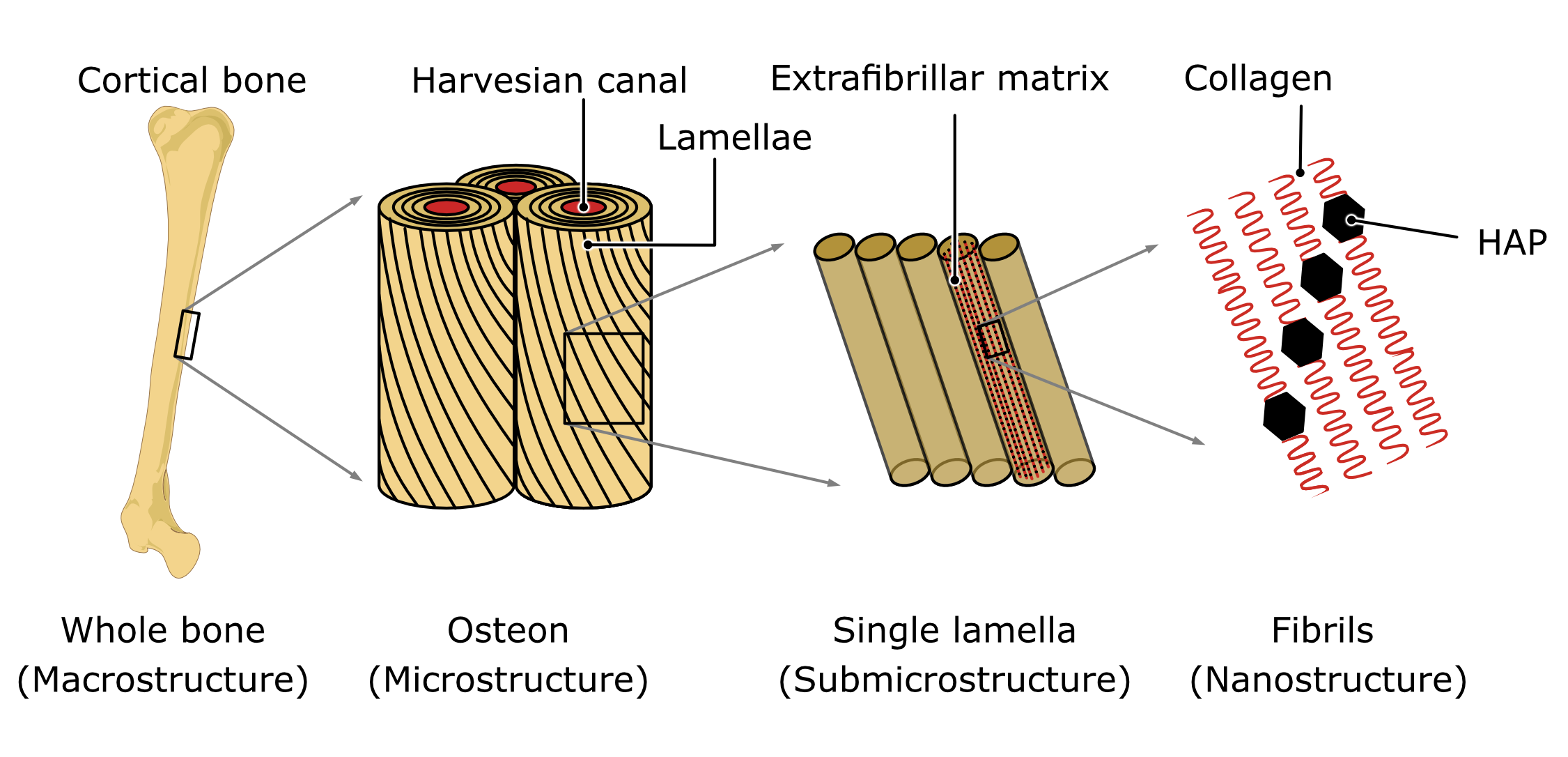 Schematic showing a bone on the left handside, a close-up reveals cylindric structures called the osteons. They consist of different layers called lamellae, which are again shown in a close-up to be composites of extrafibrillar matrices, containing fibrils. Those fibrils consist of HAP crystals which are depicted as black hexagons connected by collagen.
